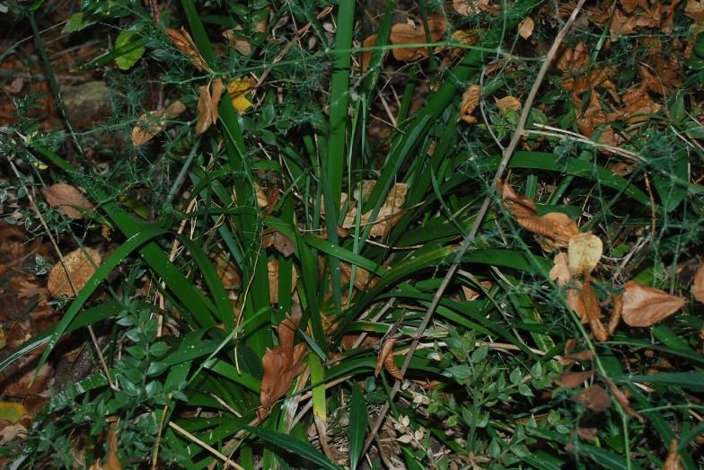 Iris foetidissima 13