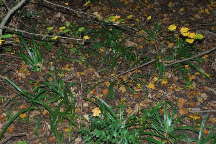 Iris foetidissima 15
