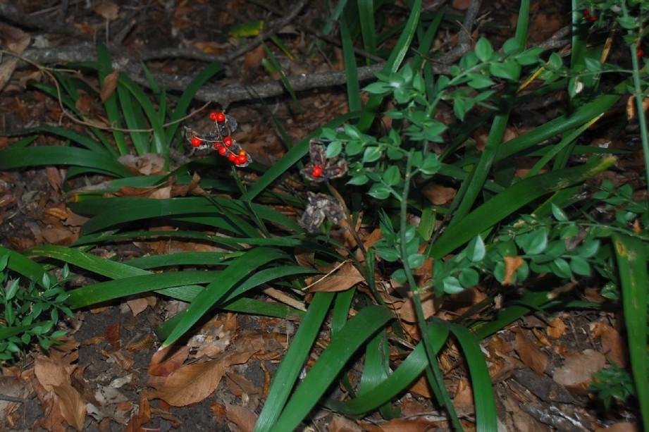 Iris foetidissima 16