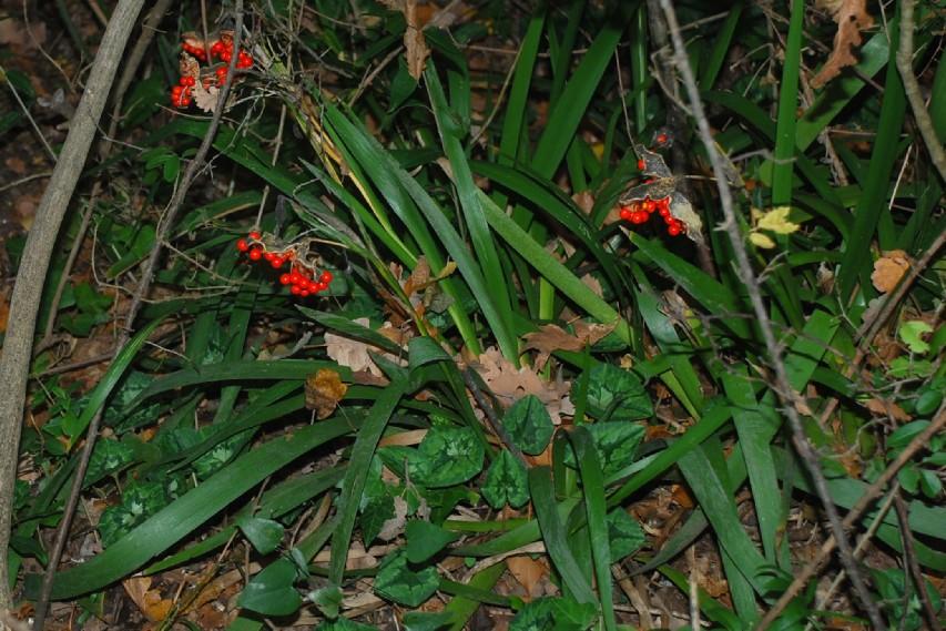 Iris foetidissima 17