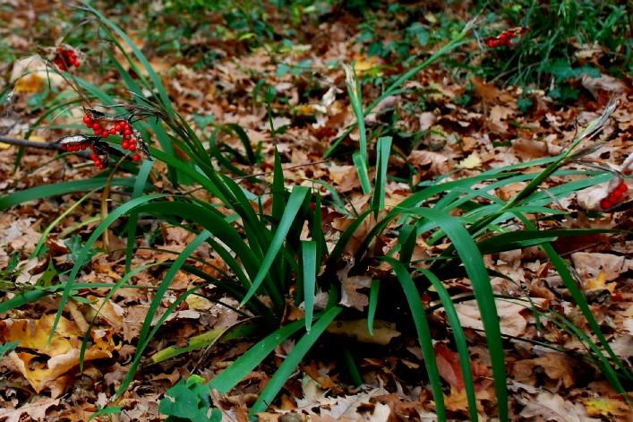 Iris foetidissima 2