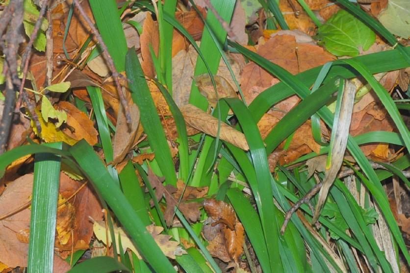 Iris foetidissima 20
