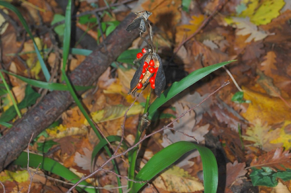 Iris foetidissima 21