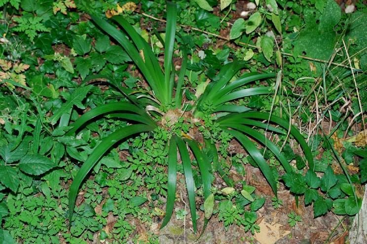 Iris foetidissima 23