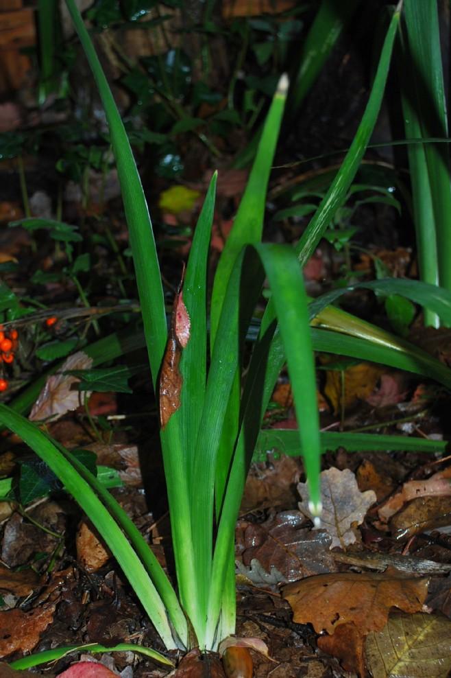 Iris foetidissima 5