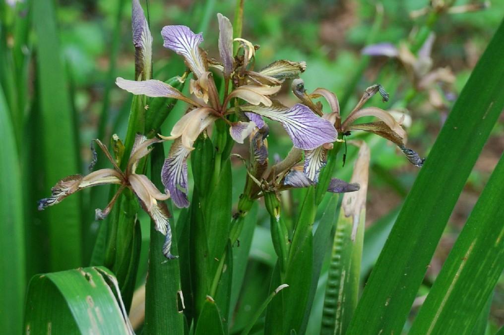 Iris foetidissima 8