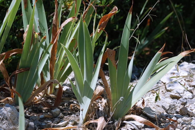 Iris germanica 10