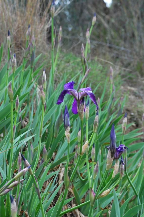 Iris germanica 12