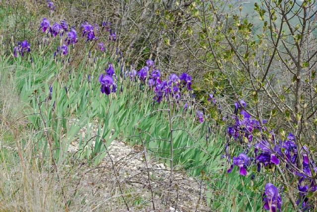 Iris germanica 14