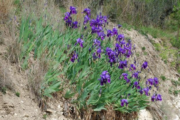 Iris germanica 15