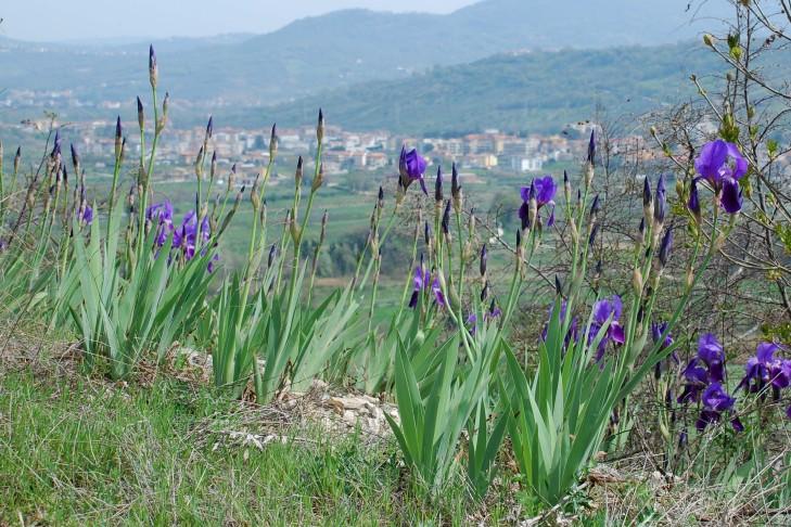 Iris germanica 16