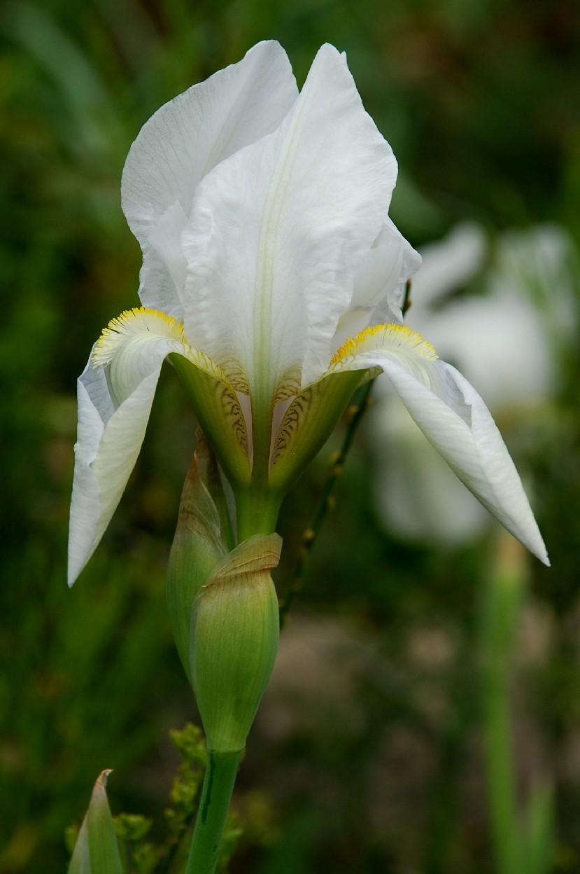Iris germanica 6