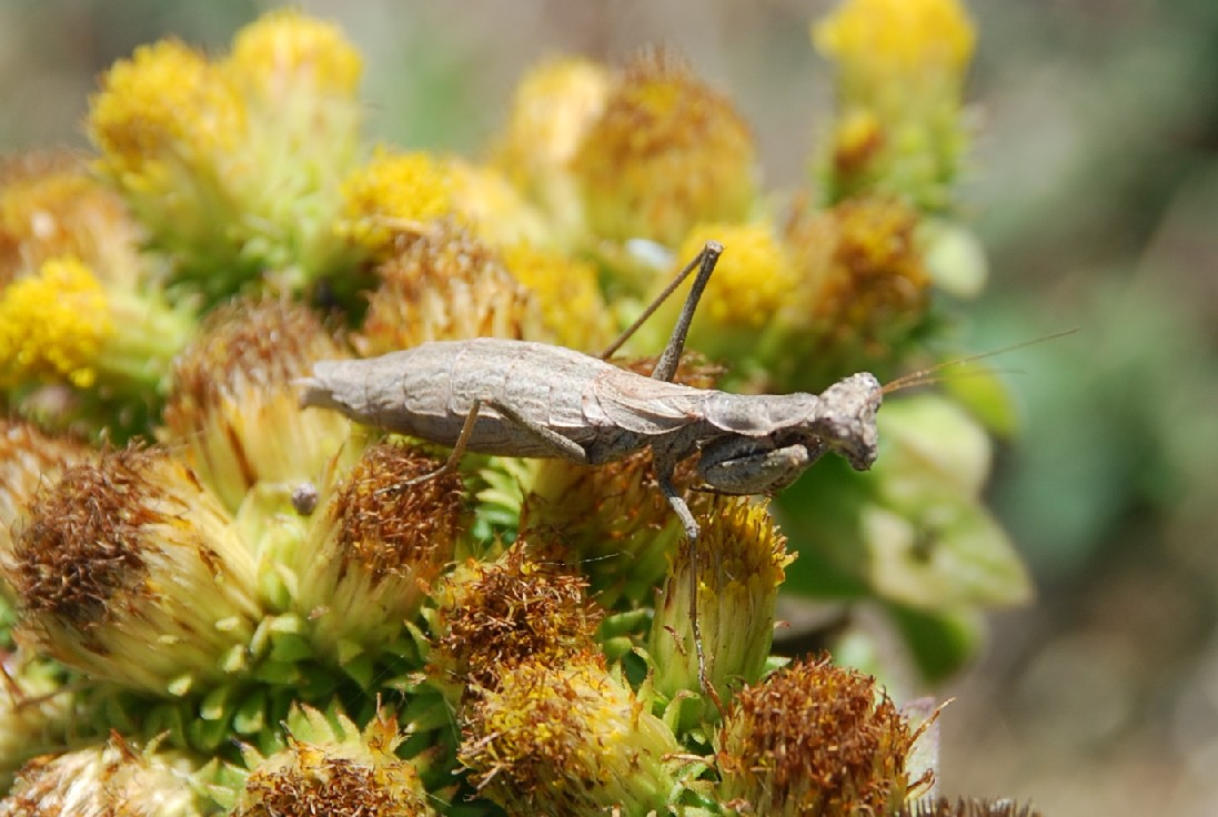 Iris oratoria - Mantidae
