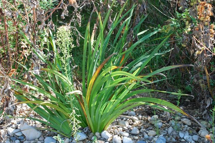 Iris pseudacorus 10