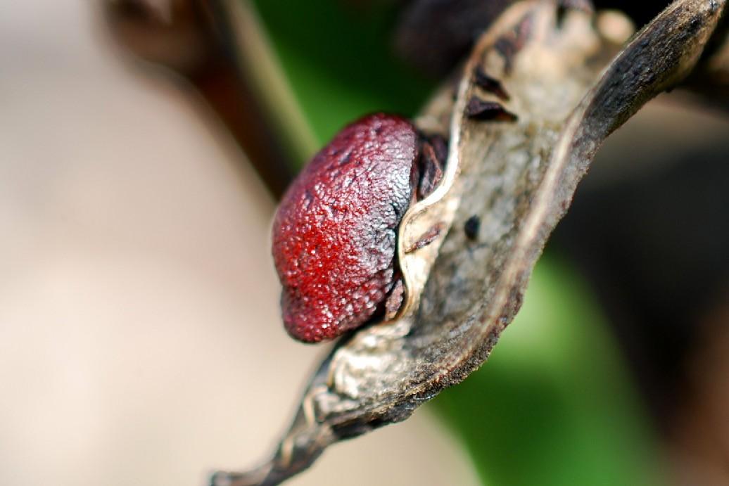 Iris pseudacorus 12