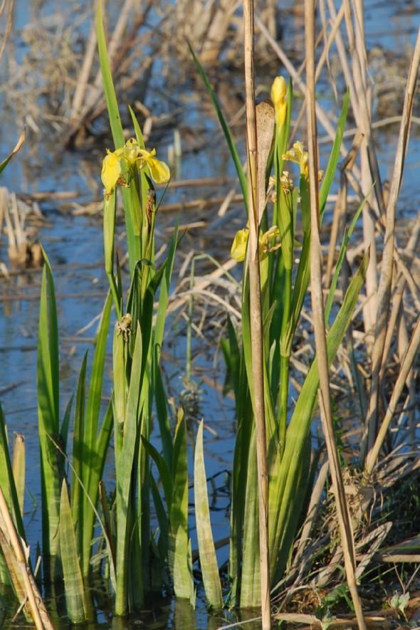 Iris pseudacorus 4