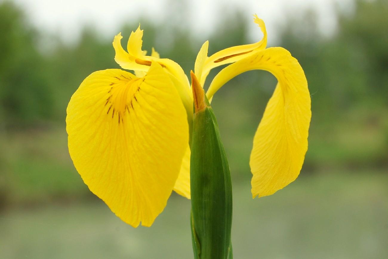 Iris pseudacorus 7