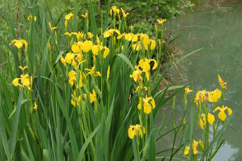 Iris pseudacorus 8