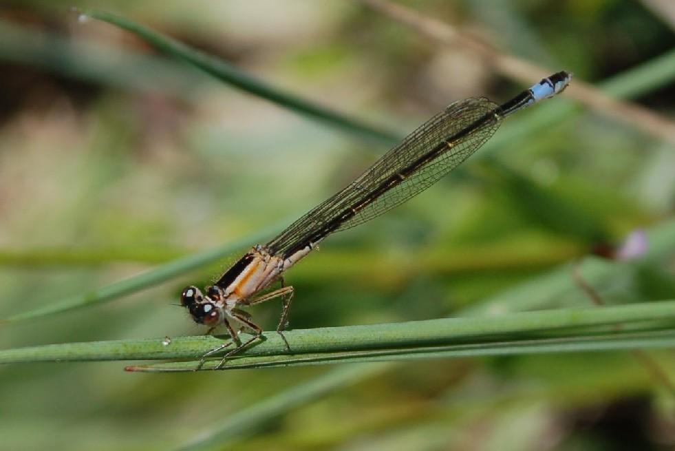 Ischnura elegans -  Coenagrionidae