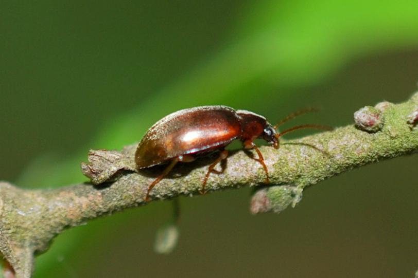 Isomira sp. - Tenebrionidae