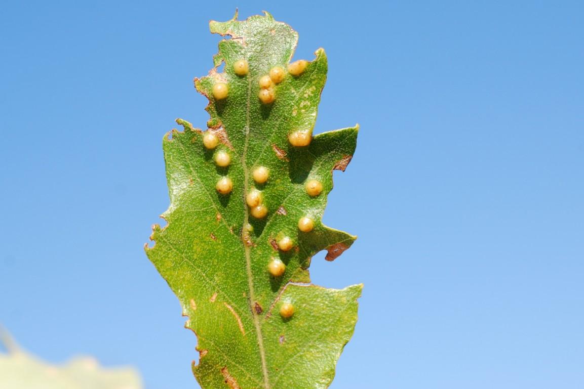 Janetia cerris -Diptera - Cecidomyiidae
