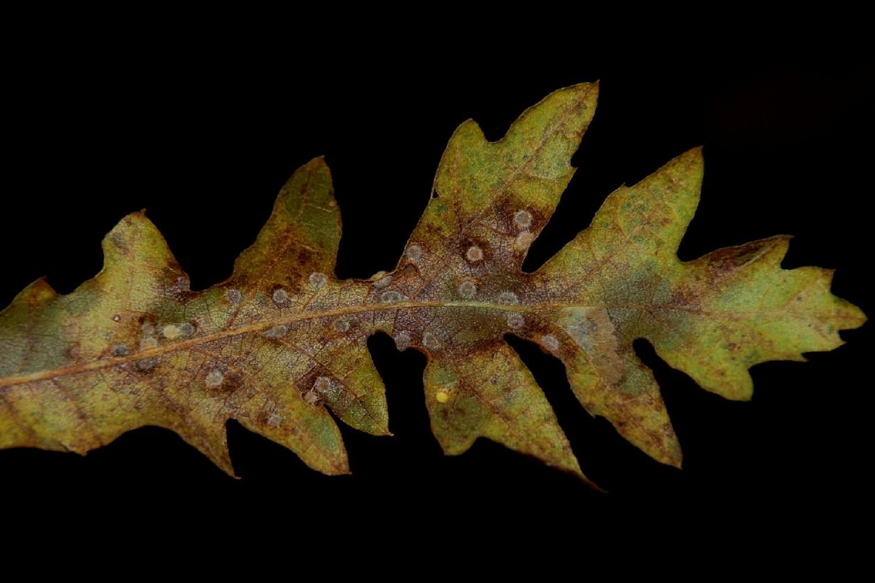 Janetia cerris - Diptera, Cecidomyiidae