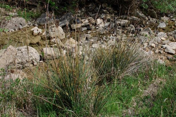 Juncus acutus subsp. acutus 2