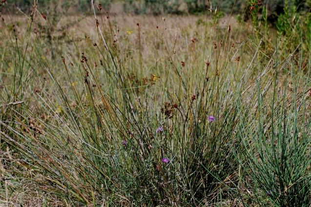 Juncus acutus subsp. acutus 4
