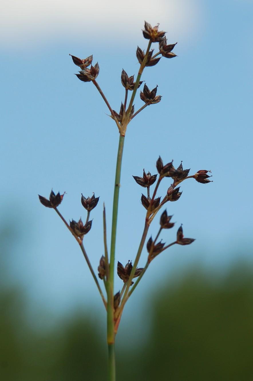 Juncus articulatus 10