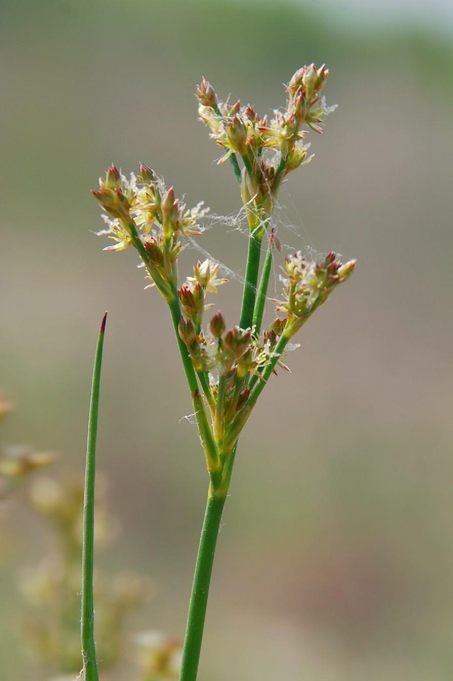 Juncus articulatus 12
