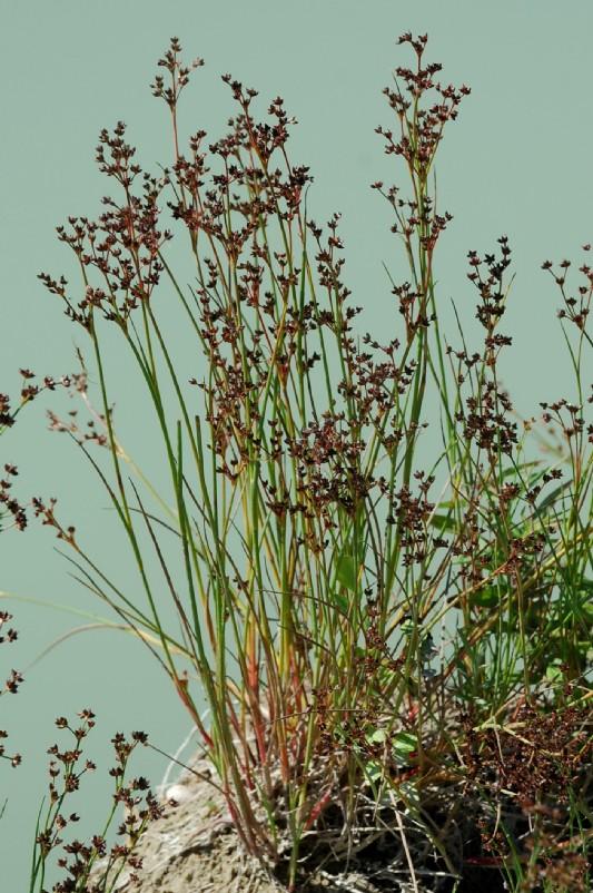 Juncus articulatus 17