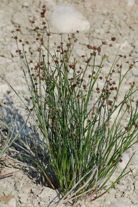 Juncus articulatus 19