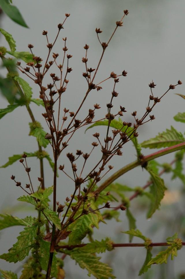 Juncus articulatus 4