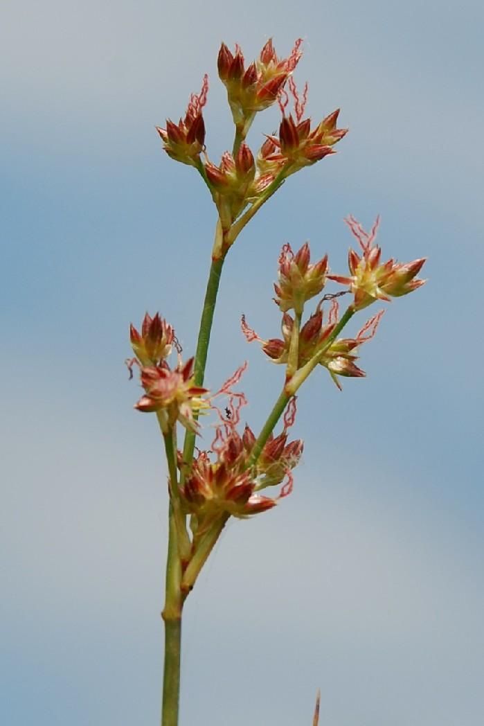 Juncus articulatus 9
