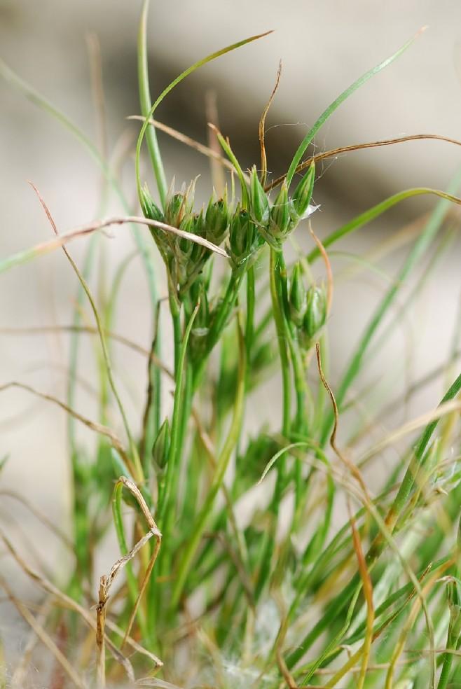 Juncus hybridus 2
