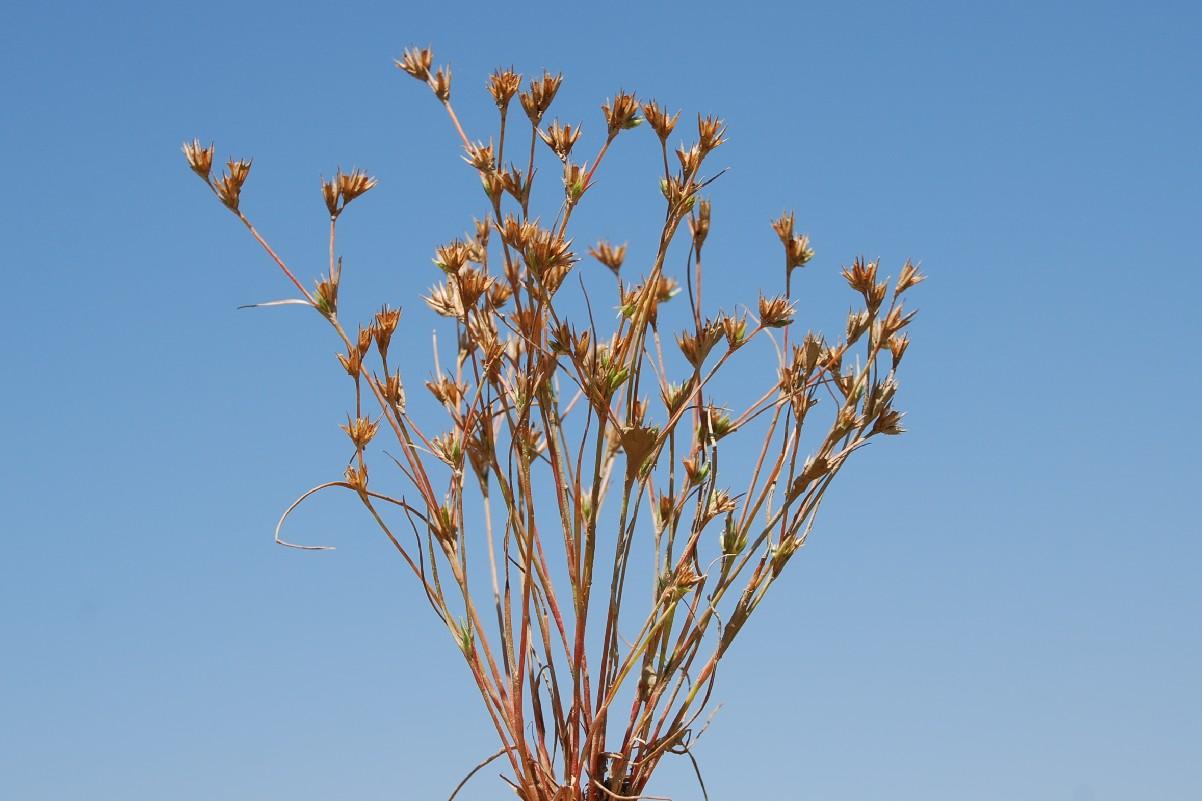 Juncus hybridus 6