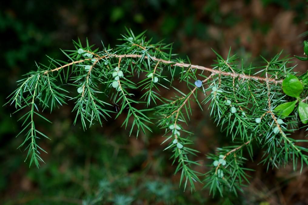 Juniperus communis subsp. communis 12