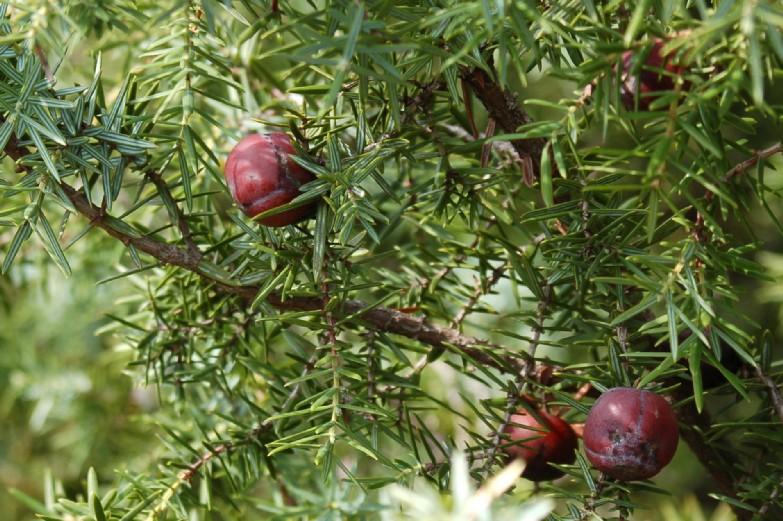 Juniperus oxycedrus subsp. macrocarpa