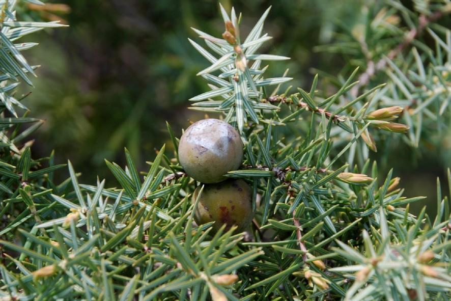 Juniperus oxycedrus subsp. macrocarpa 12