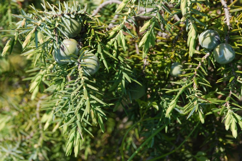 Juniperus oxycedrus subsp. macrocarpa 13