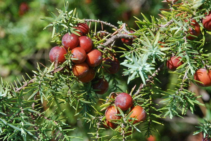 Juniperus oxycedrus subsp. macrocarpa 14