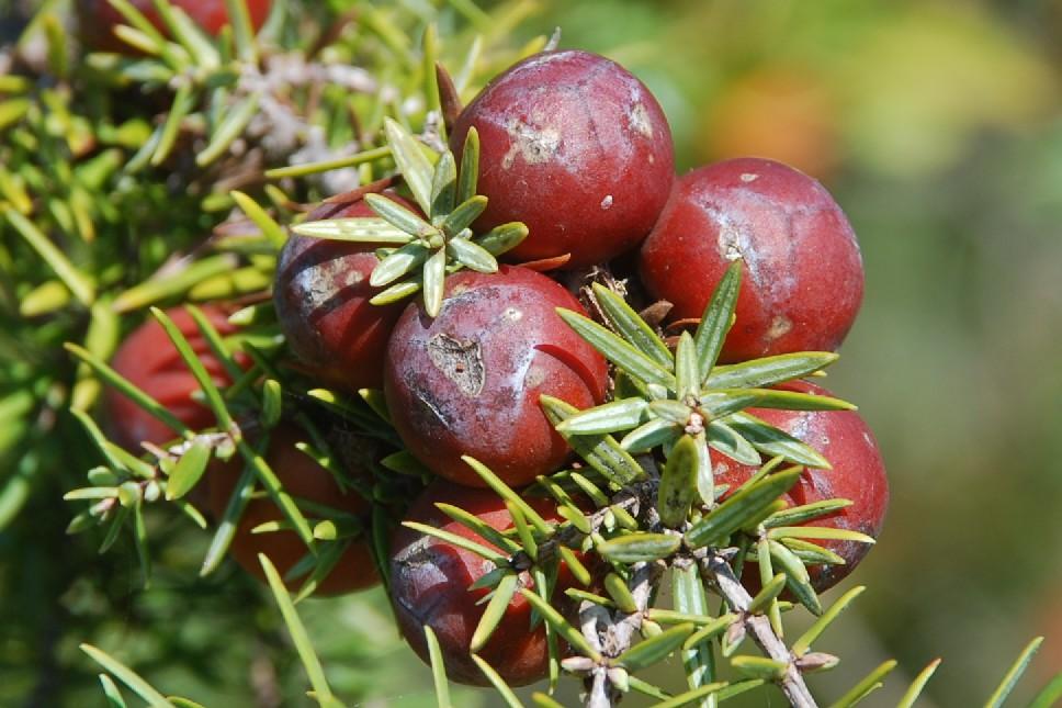 Juniperus oxycedrus subsp. macrocarpa 15