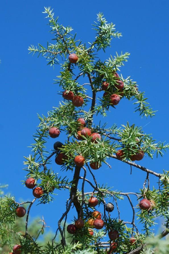 Juniperus oxycedrus subsp. macrocarpa 16