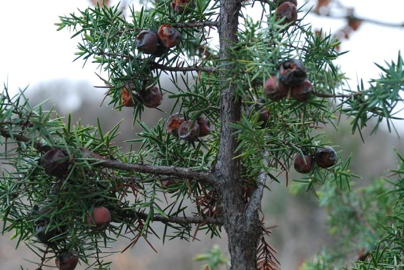 Juniperus oxycedrus subsp. macrocarpa 3