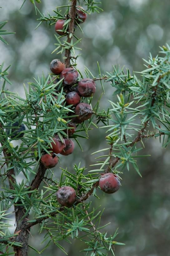 Juniperus oxycedrus subsp. macrocarpa 5