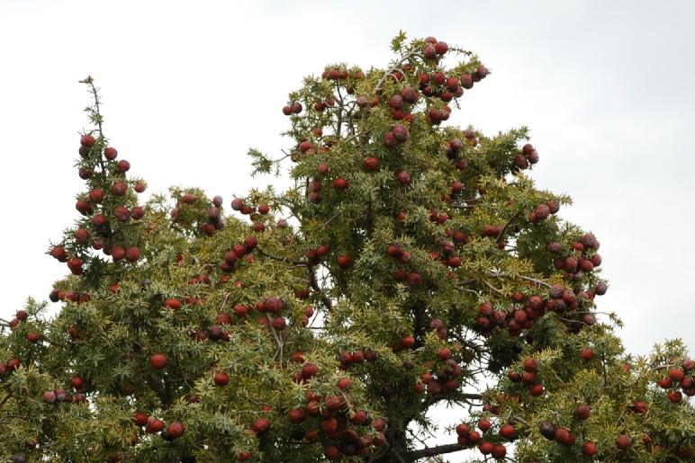 Juniperus oxycedrus subsp. macrocarpa 6