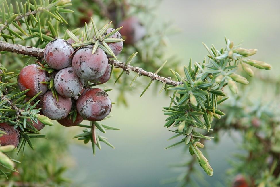 Juniperus oxycedrus subsp. macrocarpa 7