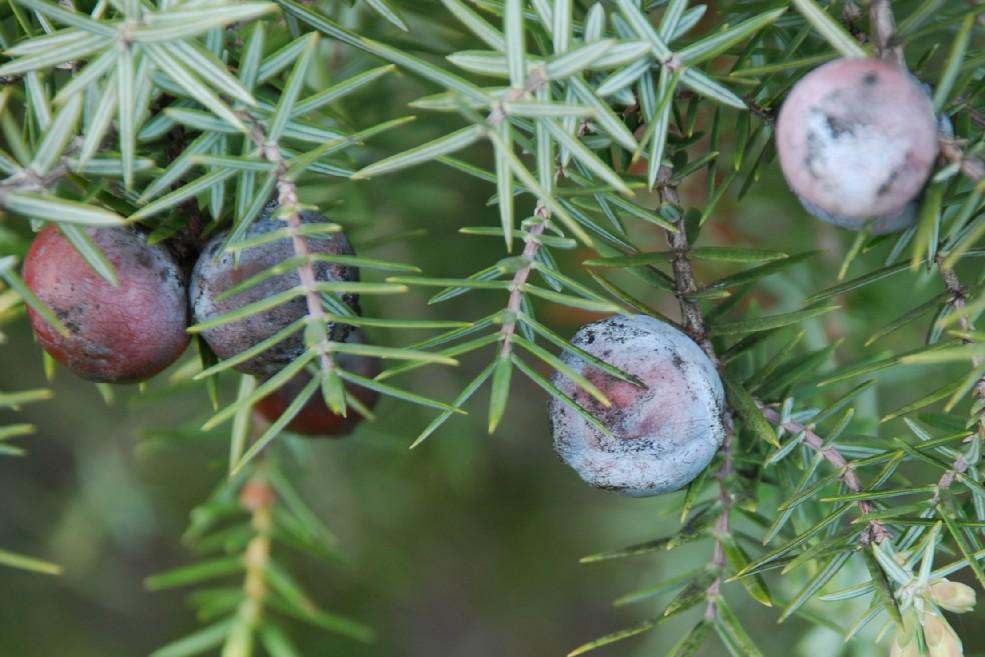 Juniperus oxycedrus subsp. macrocarpa 8