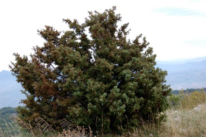 Juniperus oxycedrus subsp. oxycedrus 2