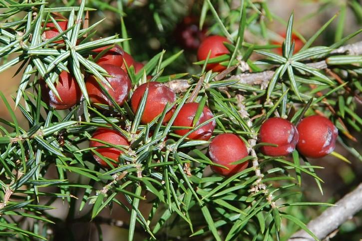 Juniperus oxycedrus subsp. oxycedrus 4